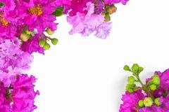 在白色背景的美丽的紫色花 库存图片
