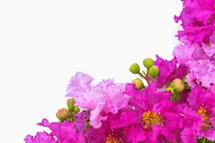 在白色背景的美丽的紫色花 免版税库存照片