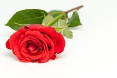 在白色背景的美丽的红色玫瑰与拷贝空间爱言情华伦泰` s天概念 免版税图库摄影
