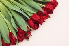 在白色背景的美丽的红色郁金香与文本的拷贝空间 春天问候图象 库存照片