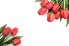 在白色背景的美丽的红色郁金香与文本的拷贝空间 顶视图,平的位置 图库摄影