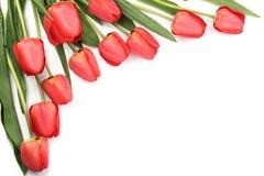在白色背景的美丽的红色郁金香与文本的拷贝空间 顶视图,平的位置 库存照片
