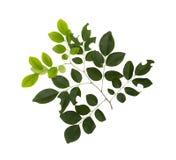 在白色背景的美丽的绿色叶子 库存照片
