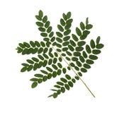 在白色背景的美丽的绿色叶子 图库摄影