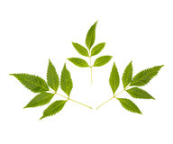 在白色背景的美丽的绿色叶子 免版税库存照片