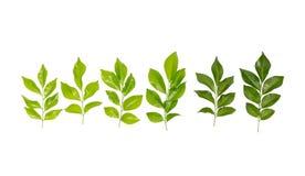 在白色背景的美丽的绿色叶子 免版税图库摄影
