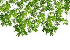 在白色背景的美丽的绿色叶子 库存图片