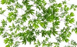 在白色背景的美丽的绿色叶子 免版税库存图片