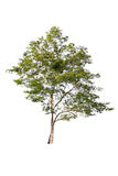 在白色背景的美丽的绿色树在高定义 免版税库存照片