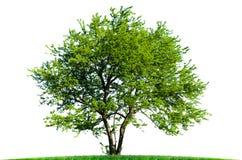 在白色背景的美丽的绿色树 库存照片