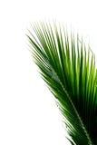 在白色背景的美丽的绿色椰子叶子 免版税图库摄影