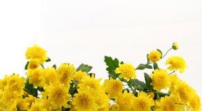 在白色背景的美丽的黄色花 库存照片
