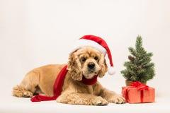 在白色背景的美国美卡犬 免版税库存照片
