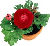 在白色背景的美好的家庭红色花颜色在罐 免版税库存图片