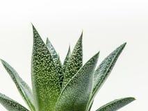 在白色背景的美妙的沙漠植物 库存照片