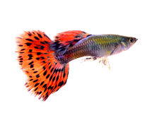 在白色背景的色彩艳丽的胎生小鱼鱼 库存图片