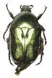 在白色背景的花甲虫Protaetia 免版税图库摄影