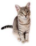 在白色背景的英国Shorthair小猫 库存照片