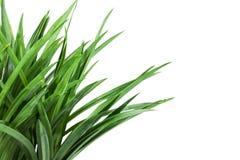 在白色背景的草灌木 免版税库存照片