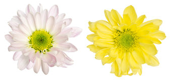 在白色背景的菊花 库存照片
