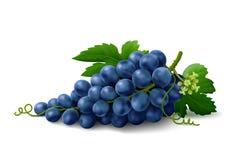 在白色背景的蓝色葡萄 免版税库存图片