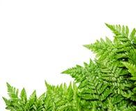 在白色背景的蕨叶子 库存图片