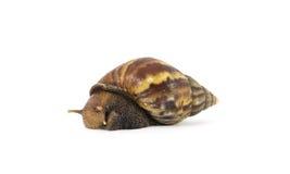 在白色背景的蜗牛 图库摄影
