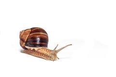 在白色背景的蜗牛 免版税库存图片