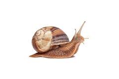 在白色背景的蜗牛 库存照片