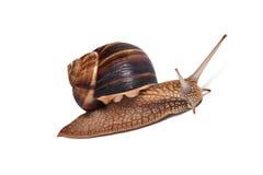 在白色背景的蜗牛 免版税库存照片