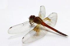 在白色背景的蜻蜓 它是与两个对的一只迅速飞行的长的有驱体的食肉动物的昆虫大翼 库存照片