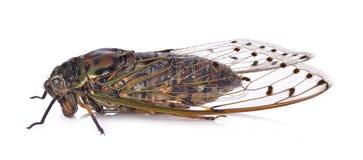 在白色背景的蝉昆虫 库存照片