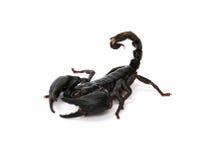 在白色背景的蝎子 免版税库存照片