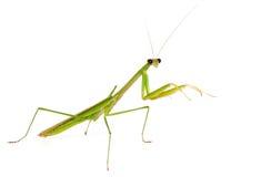 在白色背景的螳螂 免版税图库摄影