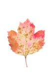 在白色背景的被察觉的叶子荚莲属的植物 图库摄影