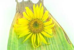 在白色背景的被隔绝的向日葵头 免版税库存照片