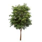 在白色背景的被隔绝的树 免版税图库摄影