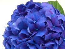 在白色背景的被隔绝的蓝色八仙花属花 库存图片