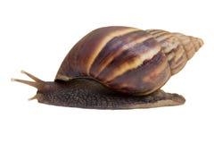 在白色背景的被隔绝的蜗牛 图库摄影