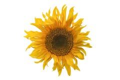 在白色背景的被隔绝的黄色向日葵开花 免版税图库摄影