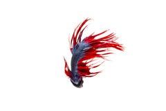 在白色背景的被隔绝的crowntail betta鱼 库存照片