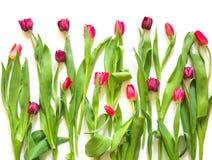 在白色背景的许多红色玫瑰紫色郁金香 免版税库存照片