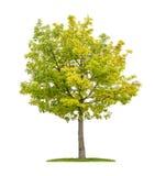 在白色背景的赤栎树 免版税库存图片