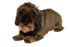 在白色背景的达克斯猎犬狗 免版税图库摄影