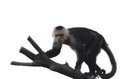 在白色背景的连斗帽女大衣猴子 免版税图库摄影