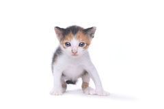 在白色背景的逗人喜爱的三个星期的老白棉布小猫 免版税库存照片