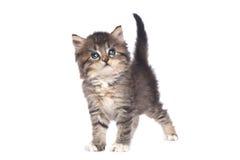 在白色背景的逗人喜爱的微小的小猫 免版税库存照片