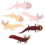 在白色背景的逗人喜爱的橙色桃红色棕色蝾螈漫画人物(墨西哥蝾,钝口螈属mexicanum)水族馆动物 Ve 免版税库存图片