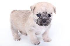 在白色背景的逗人喜爱的浅褐色的小狗 免版税库存图片