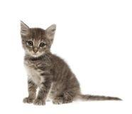 在白色背景的逗人喜爱的灰色小猫 免版税库存照片